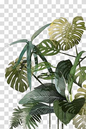 Illustration botanique Dessin Peinture à l'aquarelle Tropiques Illustration, Feuille de palmier, plante à feuilles vertes png