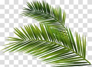Trachycarpus fortunei, bâtiment, Arecaceae, Euclidien, feuille de palmier peinte à la main, sagou vert png