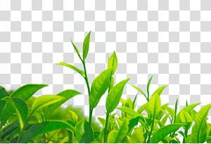 Illustration de plantes à feuilles vertes, thé vert thé de chrysanthème feuille Camellia sinensis, thé vert png