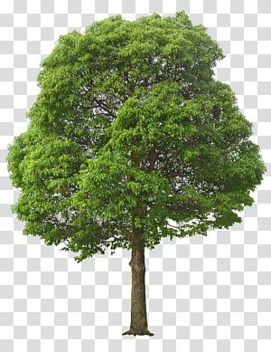 illustration d'arbre à feuilles vertes, arbre, arbre luxuriant png