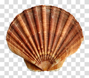 lime coquille de palourde brune, coquille Saint-Jacques, coquillage de mer png