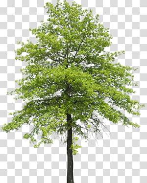 Arbre Plante Arbuste Nature Transpiration, arboles, arbre au feuillage vert png