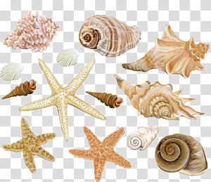 Illustration de coquillages de formes et de couleurs assorties, coquille de mollusque Seashell Clam Conch, matériel de décoration de conque de plage png