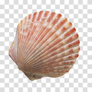 coquille rouge et blanche, sable de coquillage, coquillages de plage png