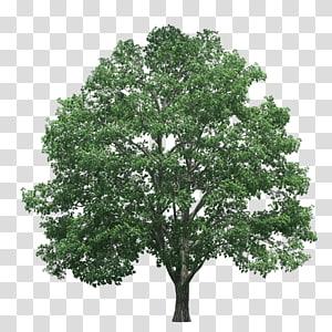 icône de l'arbre, pin des arbres, arbres png