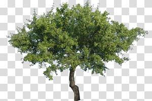 arbre à feuilles vertes, arbre, arbre png