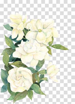 Fleur Si (nous), fleur, illustration de fleurs blanches png