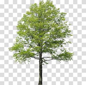 Populus nigra paysage de rendu d'arbre, arbol, de feuille verte arbre png