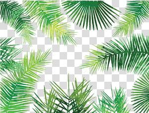 illustration de feuilles vertes, palmier de palmier asiatique Arecaceae Manuscrit de feuille de palmier Arbre, feuilles de palmier png