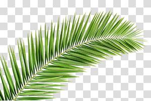 illustration de plante feuille verte, Arecaceae branche de palmier feuille arbre, palmier png