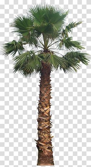 palmier, palmier dattier Washingtonia filifera Arecaceae, palmier png