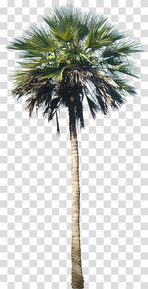 palmier, Washingtonia robusta Arecaceae Tree Plant, palmier png