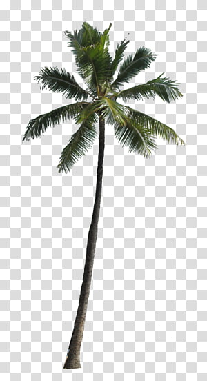 Fichier informatique Arecaceae, palmier, cocotier vert png
