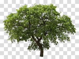 Chêne, arbre png