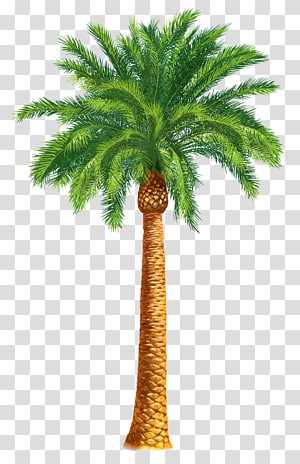 Palmier majestueux, Arecaceae Arbre Palmier dattier Washingtonia filifera, palmier png