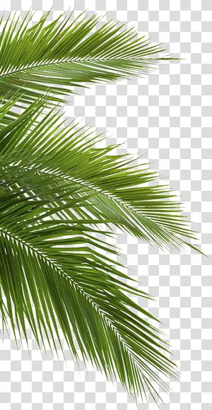 Noix de coco Arecaceae Leaf Blanc, jungle, feuilles de palmier vert png
