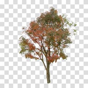 arbre à feuilles vertes et rouges, Information sur l'arbre, arbre png