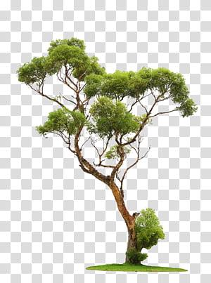 Arbre, arbres, arbre à feuilles vertes png