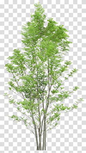 Arbre, arbres, arbre feuille verte png