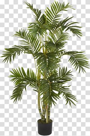 arbre à feuilles vertes, Albizia julibrissin figue pleureuse Arecaceae Areca palmier, palmier png