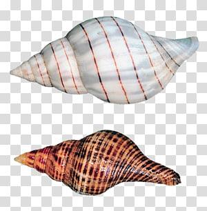 illustration de deux coquillages`` coquilles d'escargots de mer png