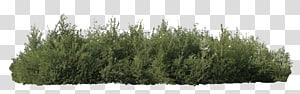 arbuste vert, arbuste arbre genévrier, buissons png