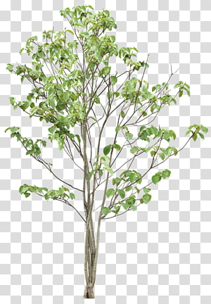 arbre à feuilles vertes, arbre, arbres png