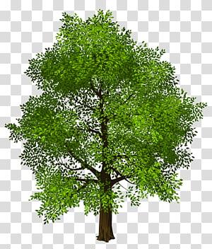 Arbre vert, arbre vert, illustration d'arbre vert png