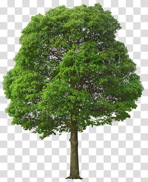 Arbre, grand arbre vert, illustration d'arbre vert png