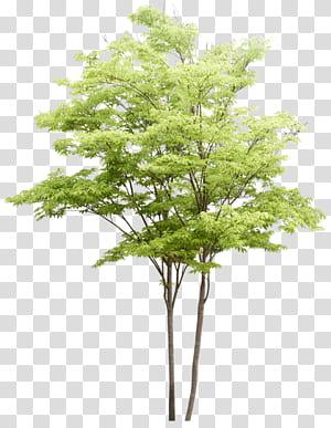 Populus nigra Tree aquarelle architecture de paysage, motif d'arbres, illustration d'arbres à feuilles vertes png