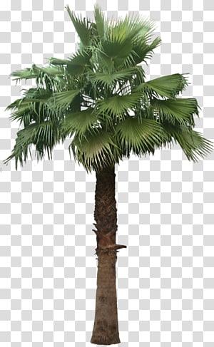 Arecaceae Arbre Washingtonia robusta Plante Palmier sagou, palmier dattier png