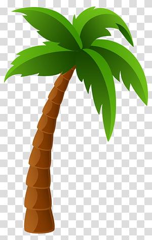 Washingtonia filifera Arecaceae Washingtonia robusta, palmier, illustration d'arbre de noix de coco png
