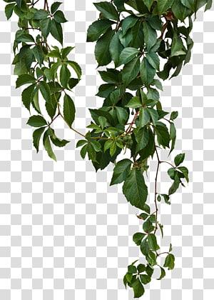 Vigne, vigne verte, plante à feuilles vertes png
