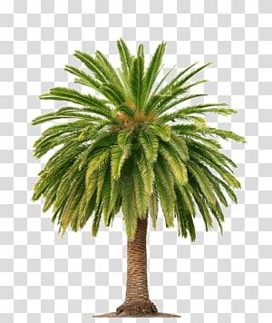 vert, palmier, Arecaceae, huile, huile de palme, cocotier png