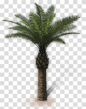 palmier sagoutier, Arecaceae San Vito Lo Capo Attalea speciosa Villa Palmiers à huile, palma png