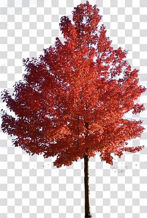 arbre à feuilles orange, érable rouge érable japonais érable à sucre arbre, arbres png