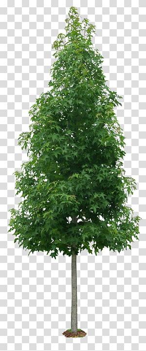 arbre à feuilles vertes, arbre Liquidambar formosana arbuste couleur de la feuille d'automne, arbres luxuriants png