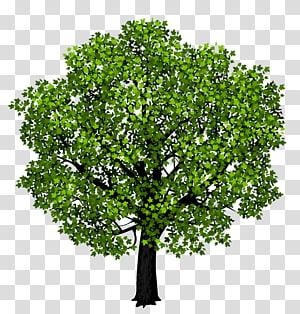 arbre à feuilles vertes, feuille d'érable rouge Clinique dentaire Pacific Smile, érable vert png