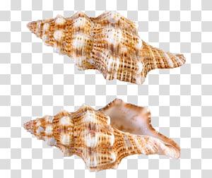 Deux coquilles de conques beiges, fichier informatique Seashell de Papouasie-Nouvelle-Guinée, coquilles d'escargots de mer png