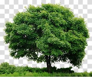 Regardez les arbres, Tree In, illustration d'arbre vert png