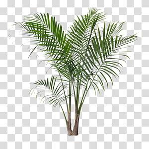 palmier vert, Ravenea rivularis Houseplant Areca palmier, palmier dattier png