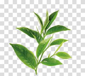 plante à feuilles vertes, thé vert thé blanc huile de théanine, thé vert png