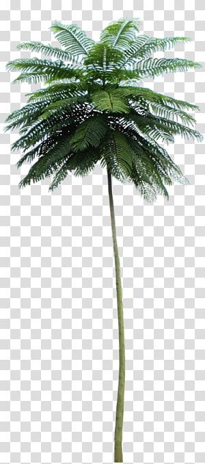 Palmier d'Asie Palmier Schizolobium parahyba Arbre Babassu, arbre png