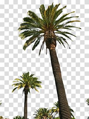 palmier, palmier palmier asiatique Attalea speciosa palmier dattier palmiers à huile Arecaceae, palmier png