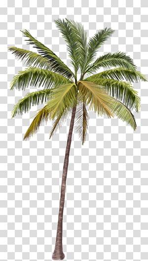 cocotier vert, Arecaceae Coconut, cocotiers png