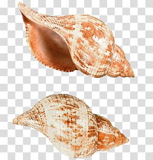 illustration informatique de deux coquilles brunes, fichier informatique Seashell de Papouasie-Nouvelle-Guinée, coquilles d'escargots de mer png