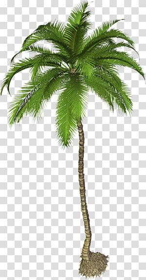 cocotier, Arecaceae Phoenix canariensis, Palmier Pic png