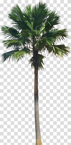 arbre vert, Saribus rotundifolius Arecaceae Livistona plante, palmier png