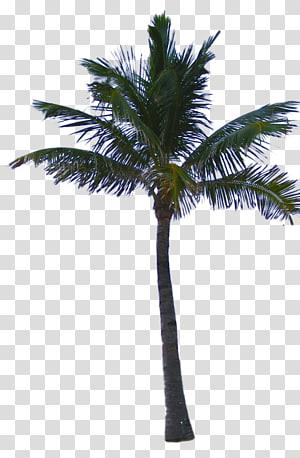 cocotier vert, palmier asiatique palmier dattier noix de coco arecaceae, palmier png