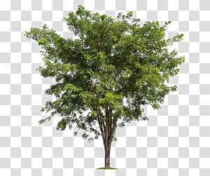 arbre à feuilles vertes, arbre branche forêt, arbres luxuriants png